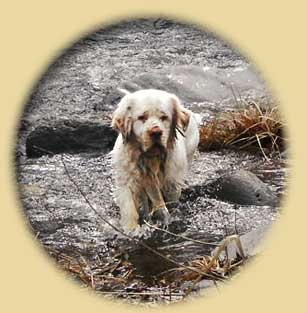 Clumber Spaniel: Baron trucking down the creek...