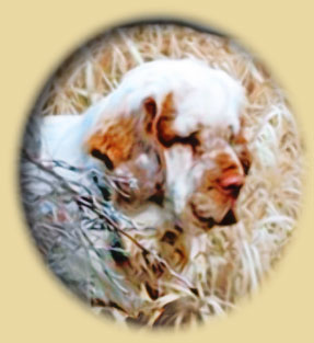 Clumber Spaniel: Harry in the field
